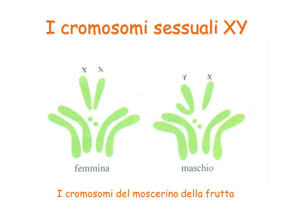 I cromosomi X e Y sono legati al sesso e per questo sono chiamati cromosomi sessuali, mentre gli altri vengono chiamati autosomi