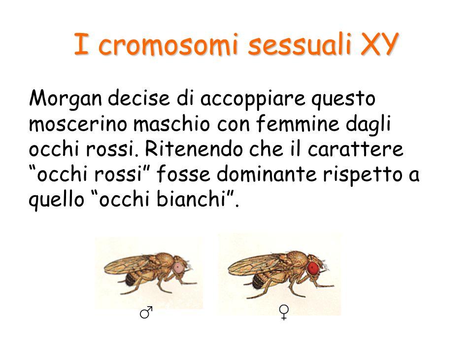I cromosomi sessuali XY Egli si attendeva, secondo il solito schema, di trovare nella prima generazione solo moscerini con occhi rossi, e così in effetti avvenne.