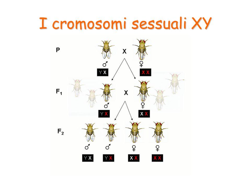 Anche nella specie umana il fenotipo sessuale è determinato dai cromosomi.