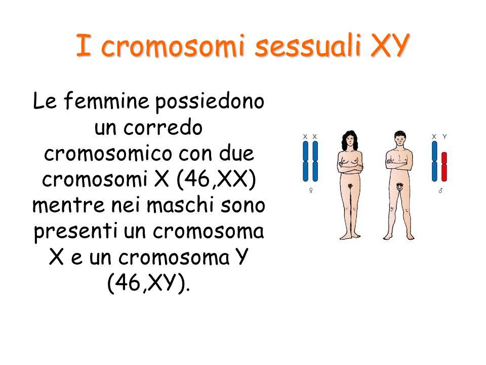 I cromosomi sessuali XY Il sesso del nascituro quindi, dipende da quale spermatozoo feconda l'ovulo!