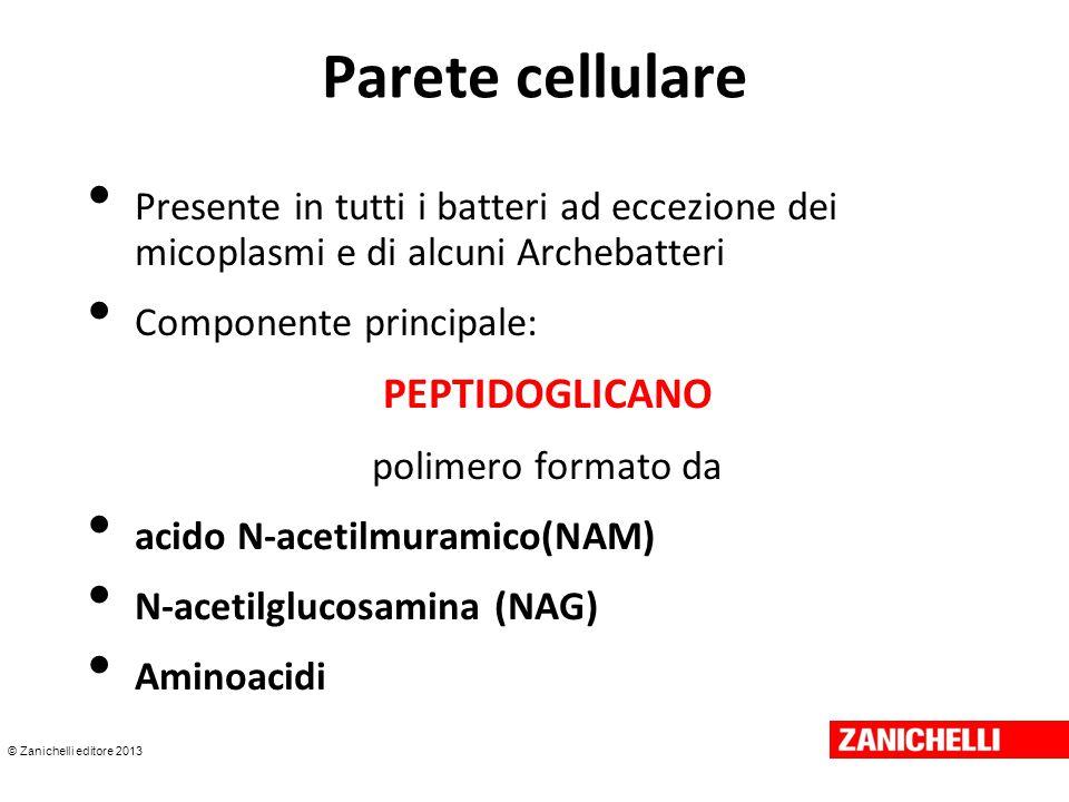 © Zanichelli editore 2013 Parete cellulare Presente in tutti i batteri ad eccezione dei micoplasmi e di alcuni Archebatteri Componente principale: PEP