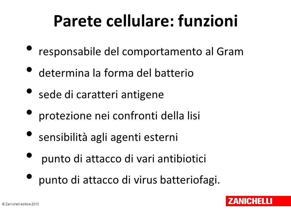 © Zanichelli editore 2013 Parete cellulare: funzioni responsabile del comportamento al Gram determina la forma del batterio sede di caratteri antigene