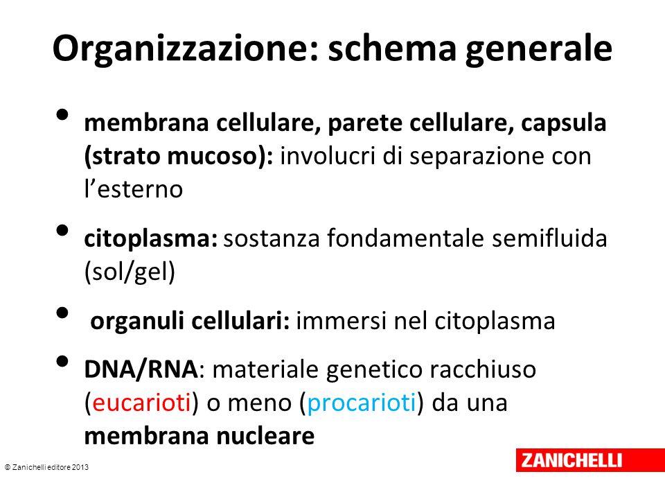 © Zanichelli editore 2013 O rganizzazione : due diversi livelli Procariotica: più semplice, DNA a diretto contatto con il citoplasma ; assenza di membrana nucleare e di apparato mitotico Eucariotica: più complessa, DNA racchiuso all'interno della membrana nucleare.