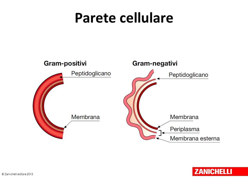 © Zanichelli editore 2013 Parete cellulare