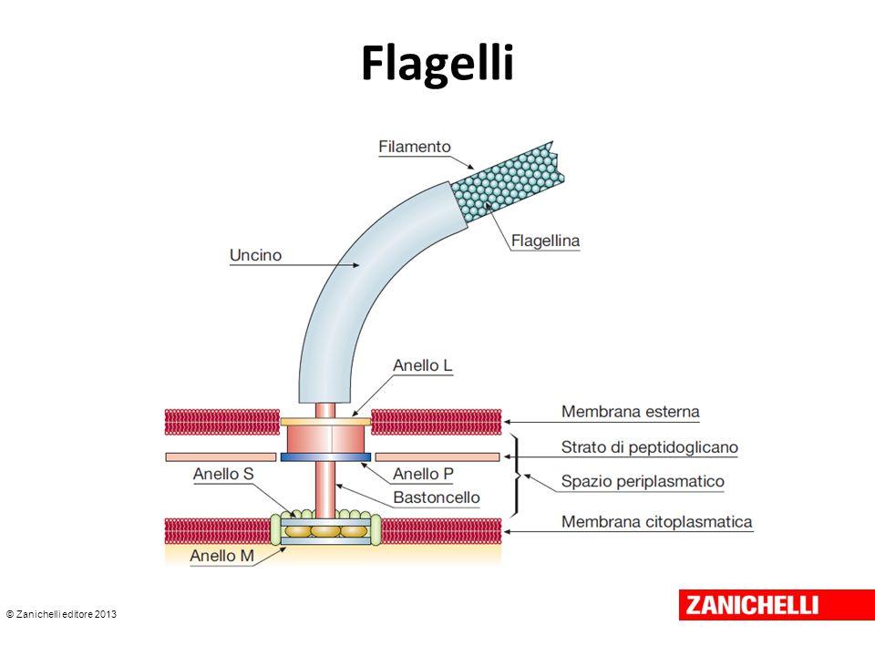 © Zanichelli editore 2013 Flagelli