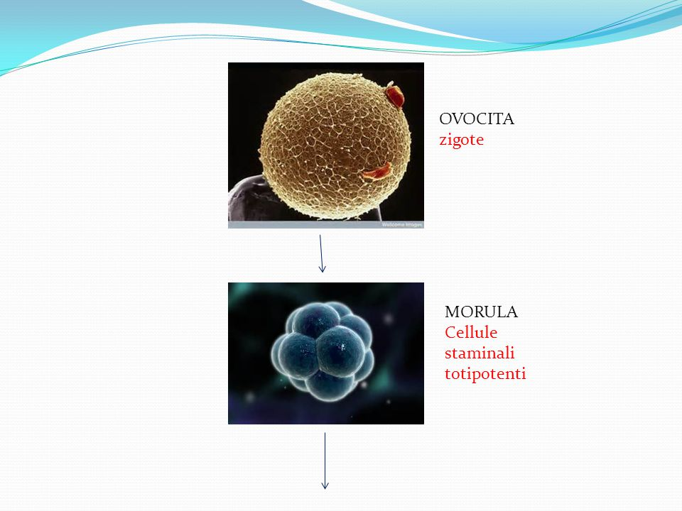 OVOCITA zigote MORULA Cellule staminali totipotenti