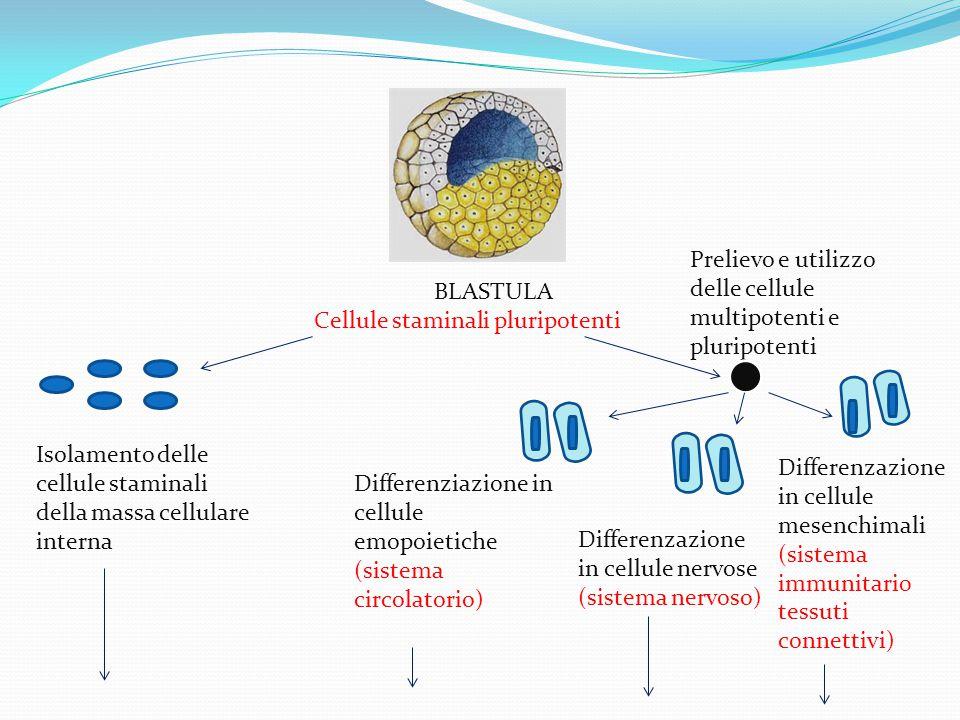 BLASTULA Cellule staminali pluripotenti Isolamento delle cellule staminali della massa cellulare interna Prelievo e utilizzo delle cellule multipotenti e pluripotenti Differenziazione in cellule emopoietiche (sistema circolatorio) Differenzazione in cellule nervose (sistema nervoso) Differenzazione in cellule mesenchimali (sistema immunitari0 tessuti connettivi)