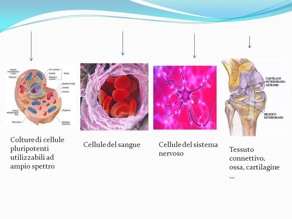 Colture di cellule pluripotenti utilizzabili ad ampio spettro Cellule del sangueCellule del sistema nervoso Tessuto connettivo, ossa, cartilagine …