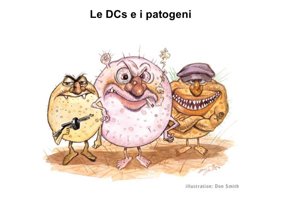 Salmonella e le DCs Salmonella enterica è un patogeno Gram-negativo, intracellulare facoltativo, invasivo S.