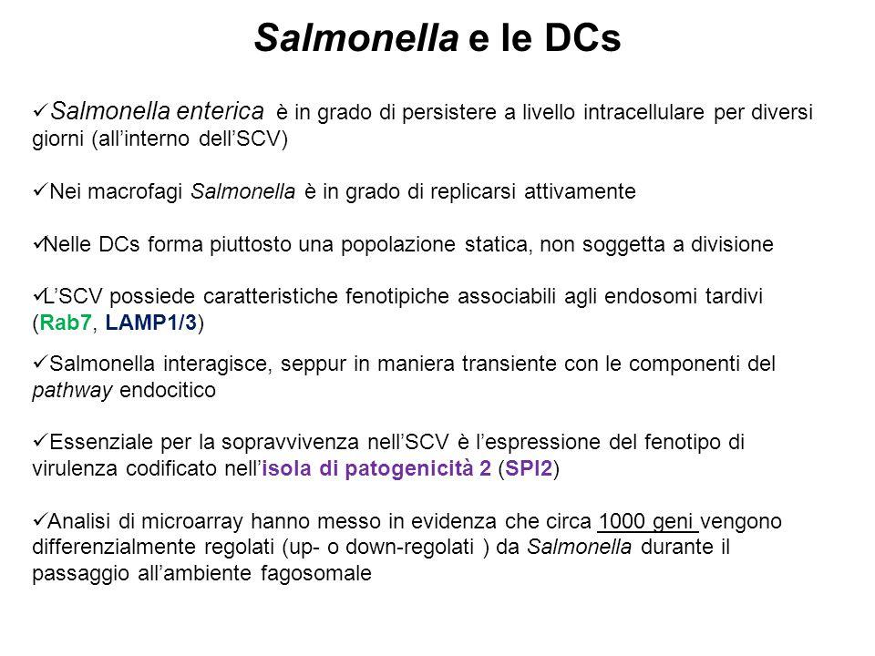 Salmonella e le DCs Salmonella enterica è in grado di persistere a livello intracellulare per diversi giorni (all'interno dell'SCV) Nei macrofagi Salm