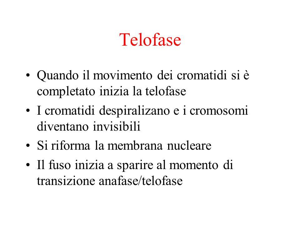 Telofase Quando il movimento dei cromatidi si è completato inizia la telofase I cromatidi despiralizano e i cromosomi diventano invisibili Si riforma la membrana nucleare Il fuso inizia a sparire al momento di transizione anafase/telofase
