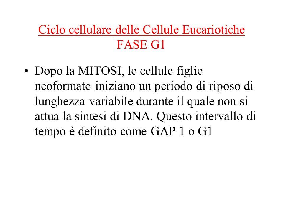 Ciclo cellulare delle Cellule Eucariotiche FASE G1 Dopo la MITOSI, le cellule figlie neoformate iniziano un periodo di riposo di lunghezza variabile durante il quale non si attua la sintesi di DNA.