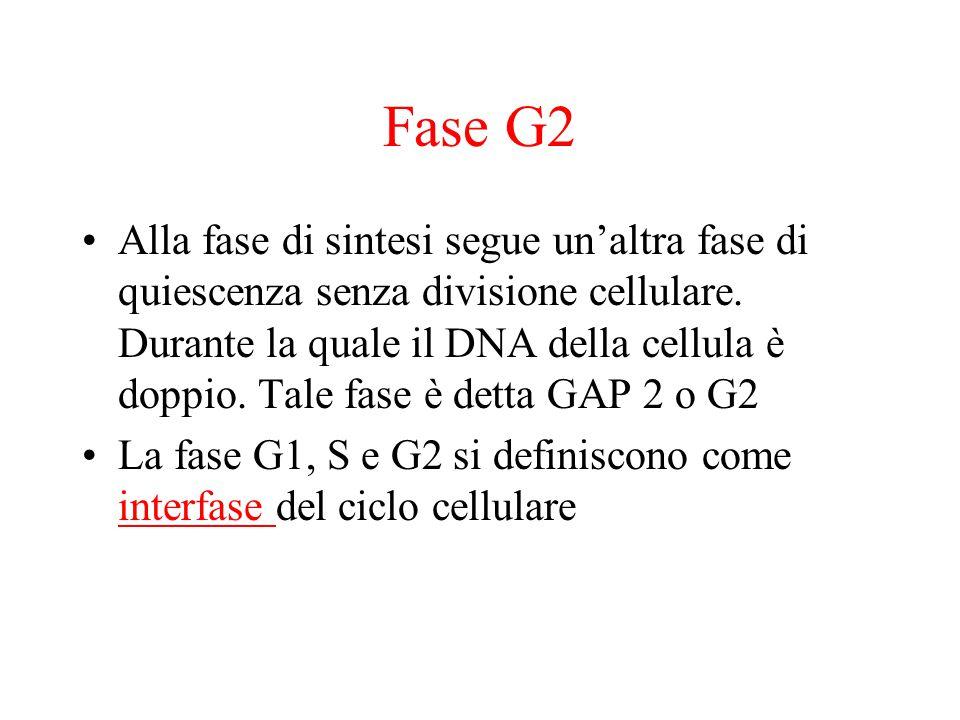 Fase G2 Alla fase di sintesi segue un'altra fase di quiescenza senza divisione cellulare.
