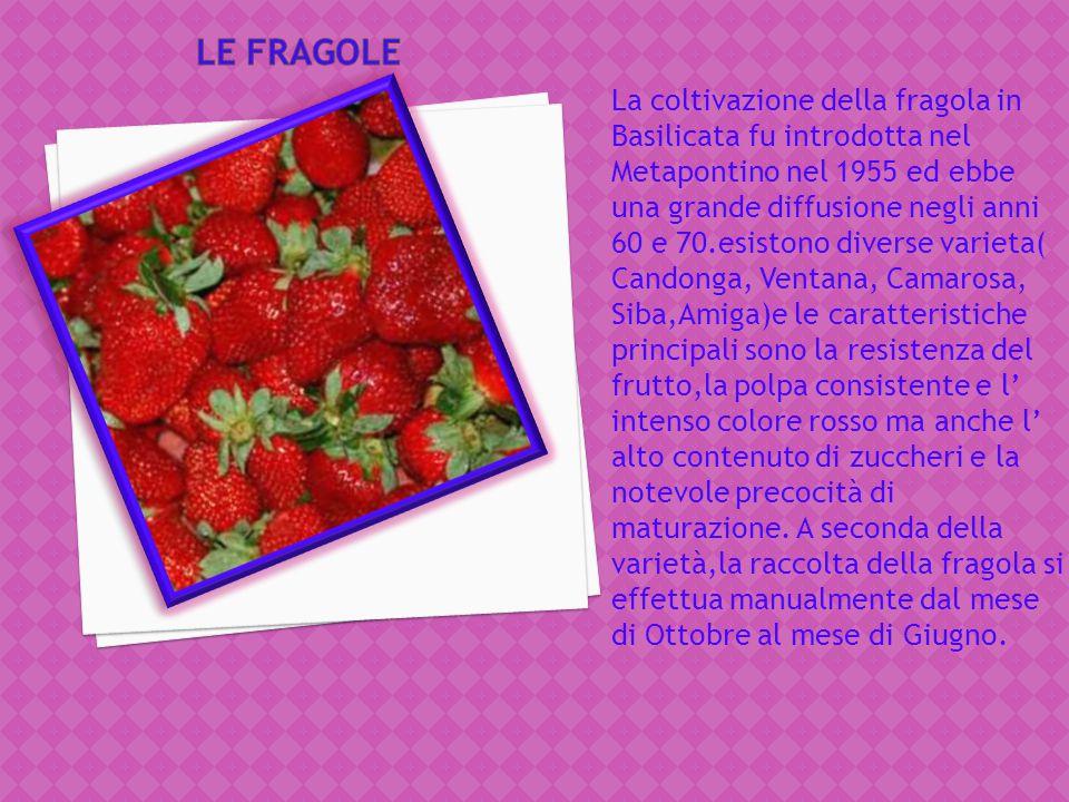 Anticamente tipico di tutta l'area vesuviana, il caco vaniglia napoletano viene oggi coltivato per lo più nelle zone delle provincie di Napoli e Saler