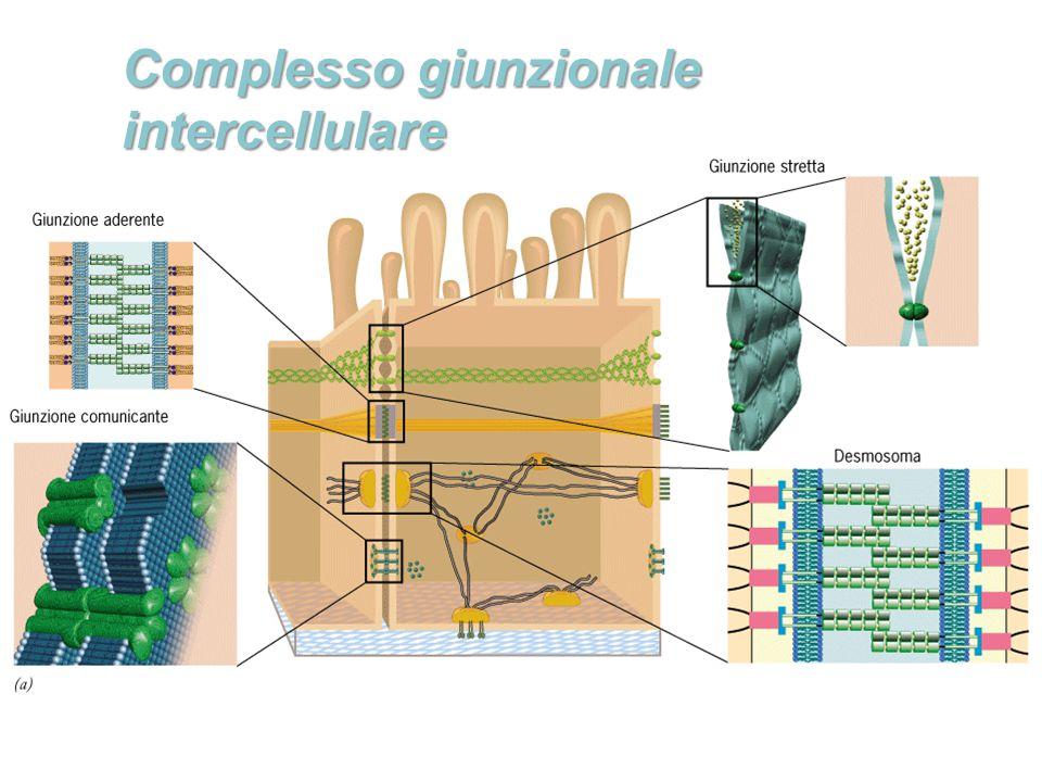 Complesso giunzionale intercellulare