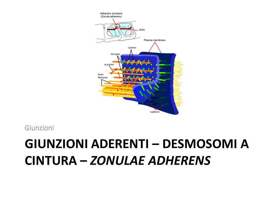 GIUNZIONI ADERENTI – DESMOSOMI A CINTURA – ZONULAE ADHERENS Giunzioni