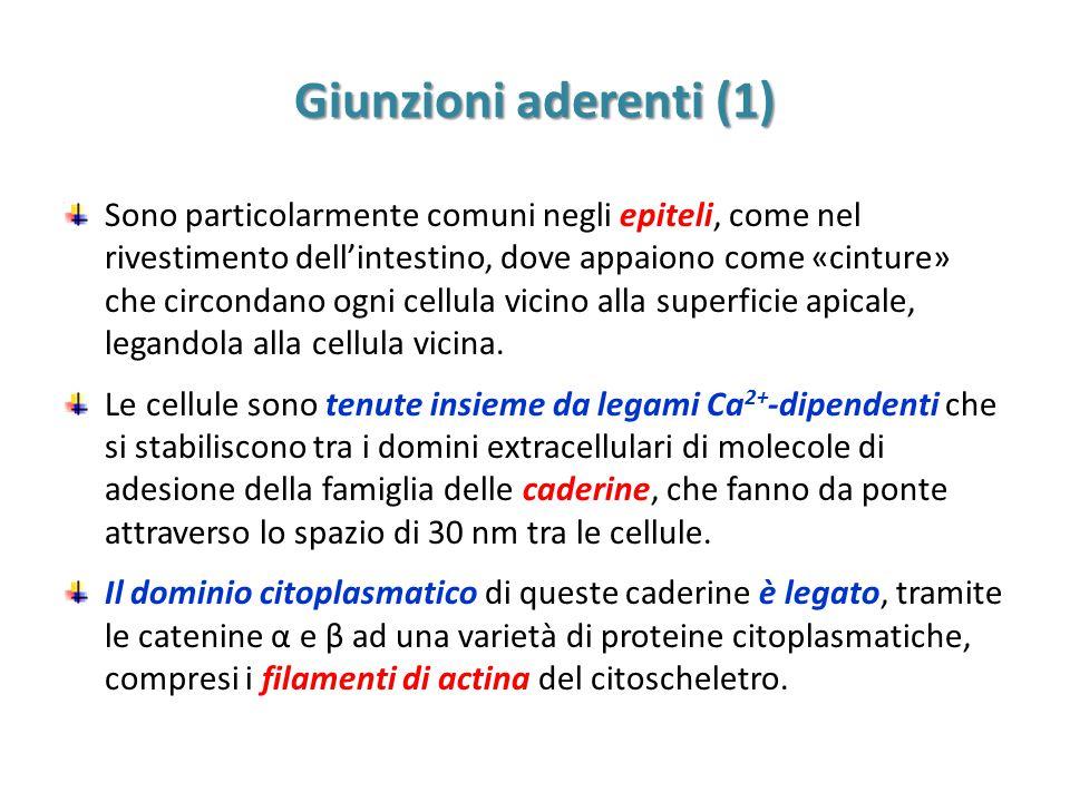 Giunzioni aderenti (1) Sono particolarmente comuni negli epiteli, come nel rivestimento dell'intestino, dove appaiono come «cinture» che circondano ogni cellula vicino alla superficie apicale, legandola alla cellula vicina.