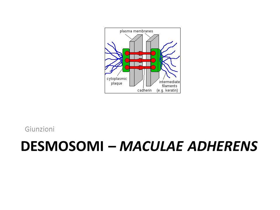 DESMOSOMI – MACULAE ADHERENS Giunzioni