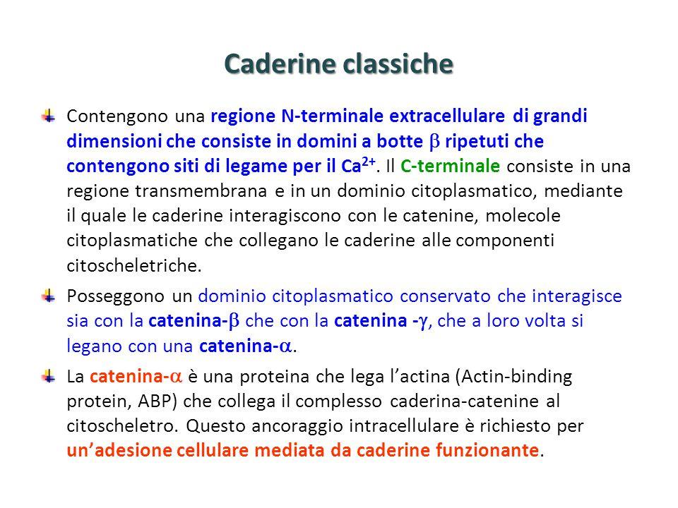 Caderine classiche Contengono una regione N-terminale extracellulare di grandi dimensioni che consiste in domini a botte  ripetuti che contengono siti di legame per il Ca 2+.