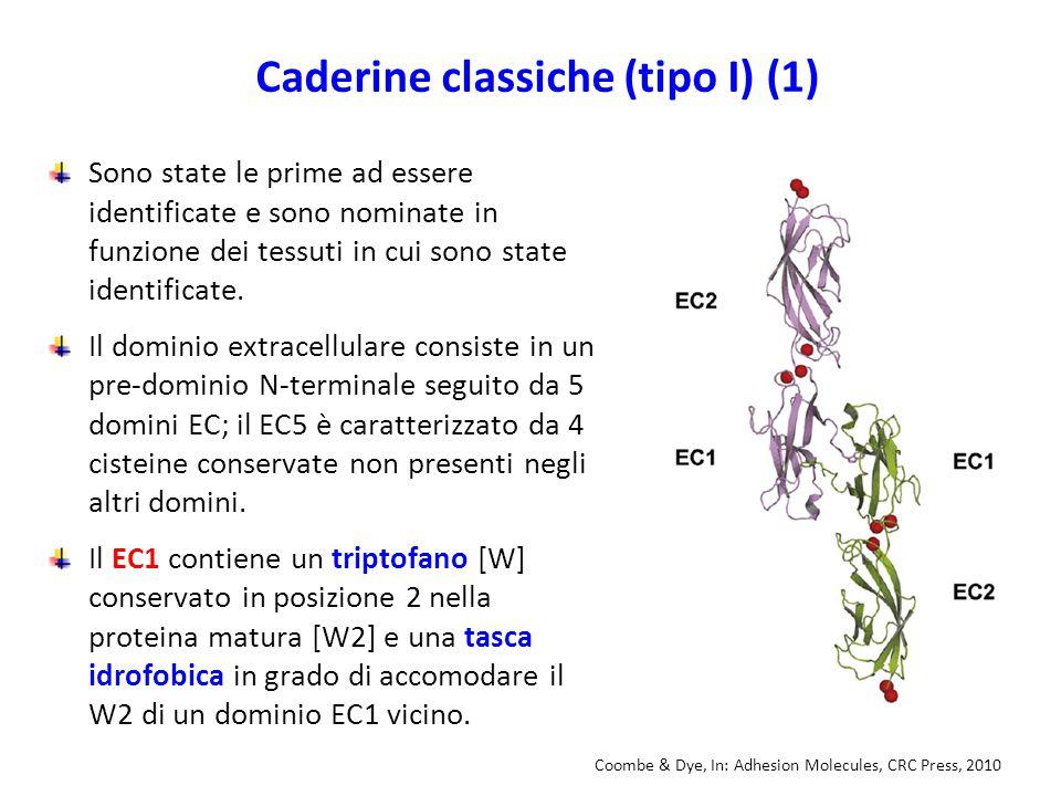 Caderine classiche (tipo I) (1) Sono state le prime ad essere identificate e sono nominate in funzione dei tessuti in cui sono state identificate.