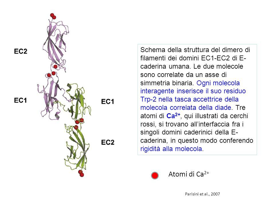 Parisini et al., 2007 Schema della struttura del dimero di filamenti dei domini EC1-EC2 di E- caderina umana.