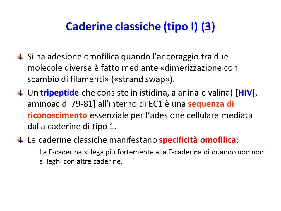 Caderine classiche (tipo I) (3) Si ha adesione omofilica quando l'ancoraggio tra due molecole diverse è fatto mediante «dimerizzazione con scambio di filamenti» («strand swap»).
