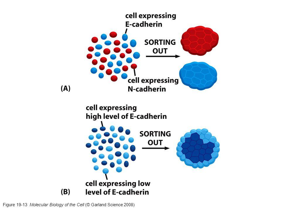 Caderine classiche (tipo I) (2) Dopo la rimozione del pre-dominio (nel Reticolo Endoplasmatico), i residui N-terminali [che includono il triptofano in posizione 2 (W2)], formano un «braccio di adesione» che interagisce con la «tasca accettrice» nel corpo dell'EC1; si forma inoltre un legame ionico tra il N-terminale carico positivamente di un asparagina (Asp) in posizione 1 [D1] e un residuo conservato di acido glutamico [E89] vicino alla tasca accettrice.