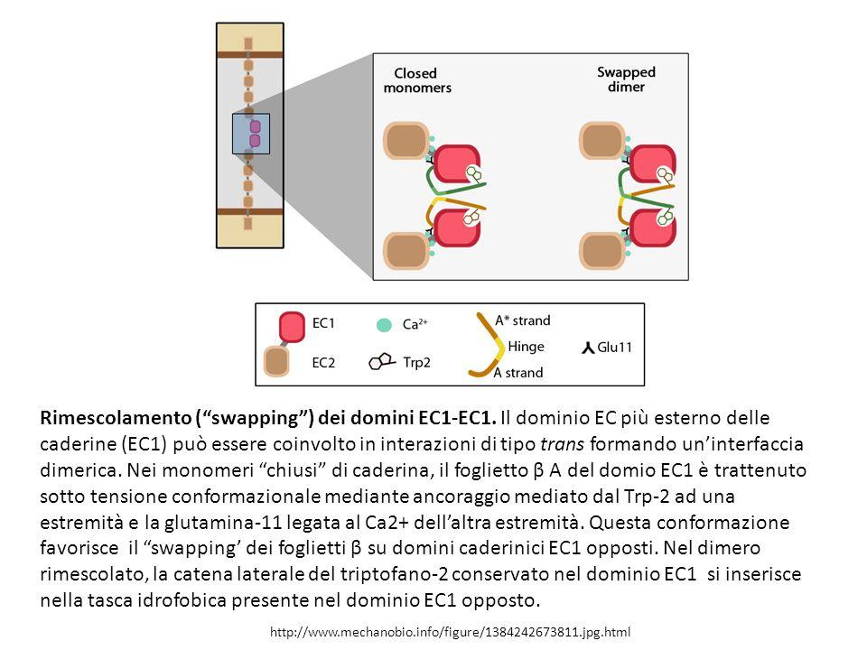http://www.mechanobio.info/figure/1384242673811.jpg.html Rimescolamento ( swapping ) dei domini EC1-EC1.