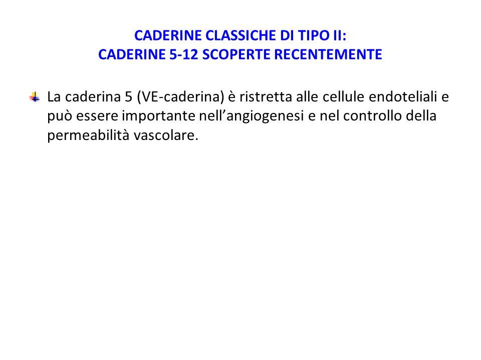 CADERINE CLASSICHE DI TIPO II: CADERINE 5-12 SCOPERTE RECENTEMENTE La caderina 5 (VE-caderina) è ristretta alle cellule endoteliali e può essere importante nell'angiogenesi e nel controllo della permeabilità vascolare.