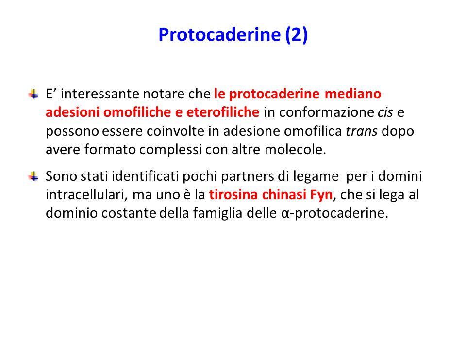 Protocaderine (2) E' interessante notare che le protocaderine mediano adesioni omofiliche e eterofiliche in conformazione cis e possono essere coinvolte in adesione omofilica trans dopo avere formato complessi con altre molecole.