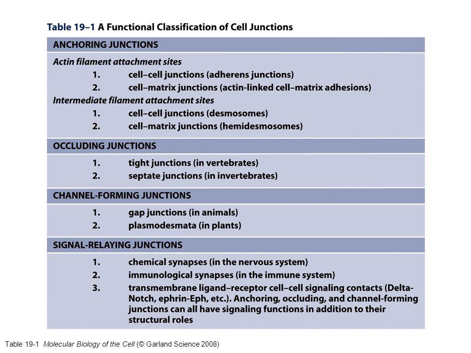 Caderine classiche (tipo I) (4) I domini citplasmatici delle caderine classiche interagiscono con proteine coinvolte nell'endocitosi e nel segnalamento intracellulare ed anche con il citoscheletro di actina.