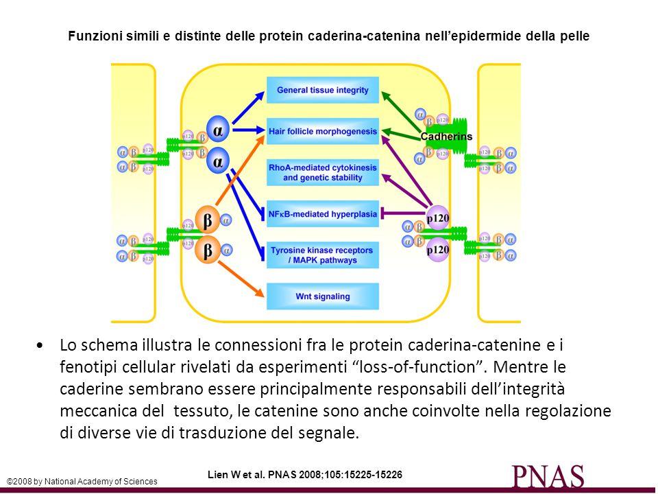 Funzioni simili e distinte delle protein caderina-catenina nell'epidermide della pelle Lien W et al.
