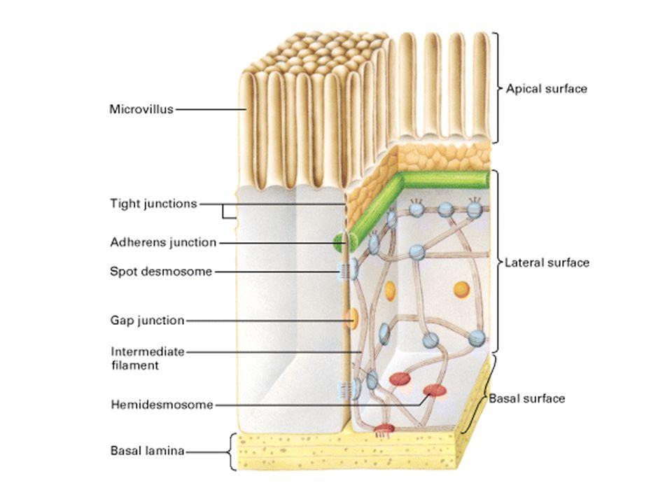 Desmosomi («maculae adherens») (2) La rete tridimensionale di filamenti intermedi fornisce continuità strutturale e resistenza alla trazione all'intero strato di cellule.