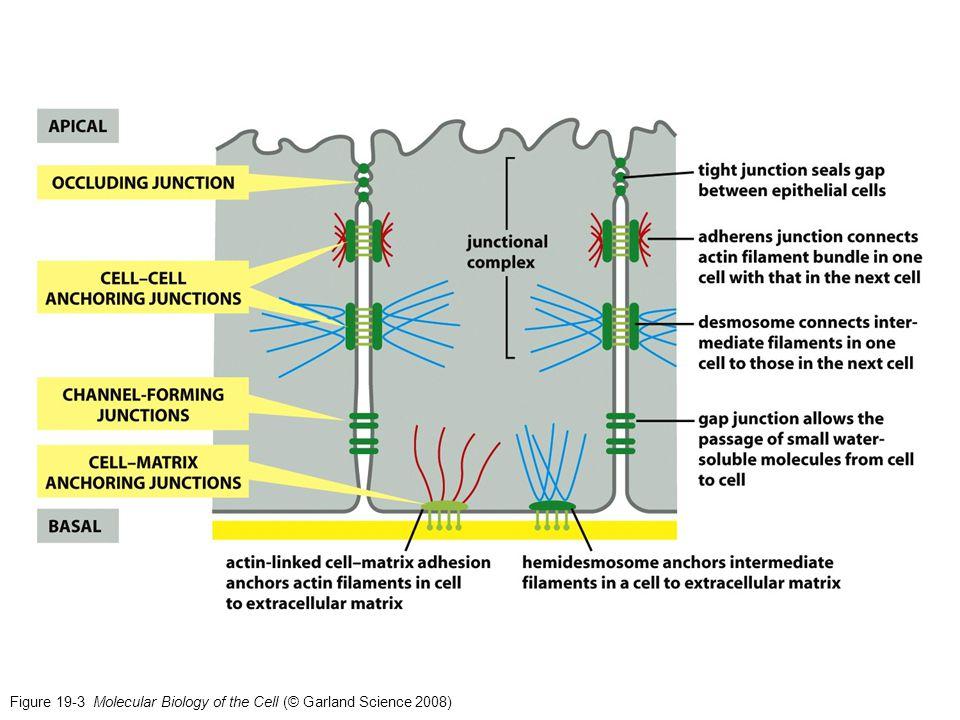 Macula adherens (desmosoma a borchia) Interagisce con i filamenti intermedi (citocheratine nelle cellule epiteliali) Struttura discoidale (a borchia) sulla superficie di una cellula che è appaiata ad una struttura identica sulla superficie di una cellula adiacente.
