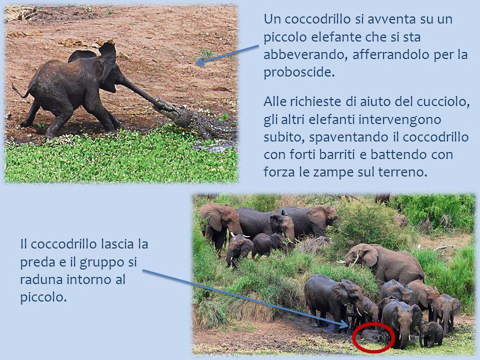 Un coccodrillo si avventa su un piccolo elefante che si sta abbeverando, afferrandolo per la proboscide. Alle richieste di aiuto del cucciolo, gli alt