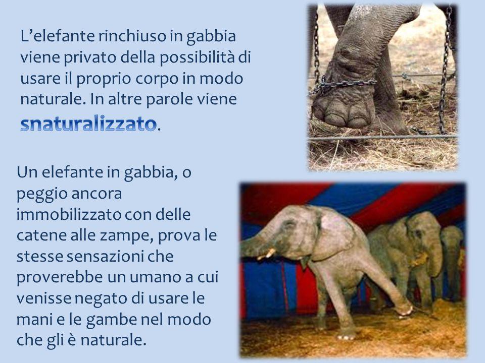 Un elefante in gabbia, o peggio ancora immobilizzato con delle catene alle zampe, prova le stesse sensazioni che proverebbe un umano a cui venisse neg