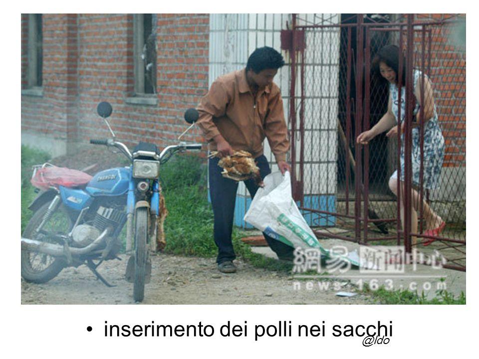 inserimento dei polli nei sacchi @ldo