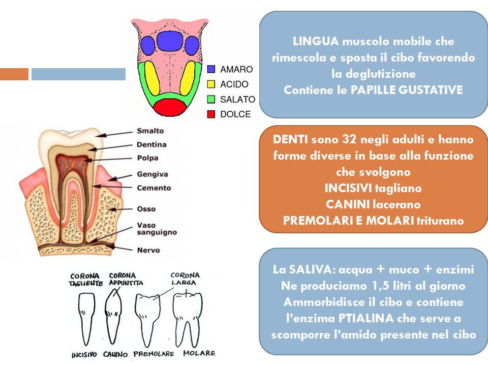 LINGUA muscolo mobile che rimescola e sposta il cibo favorendo la deglutizione Contiene le PAPILLE GUSTATIVE DENTI sono 32 negli adulti e hanno forme diverse in base alla funzione che svolgono INCISIVI tagliano CANINI lacerano PREMOLARI E MOLARI triturano La SALIVA: acqua + muco + enzimi Ne produciamo 1,5 litri al giorno Ammorbidisce il cibo e contiene l'enzima PTIALINA che serve a scomporre l'amido presente nel cibo