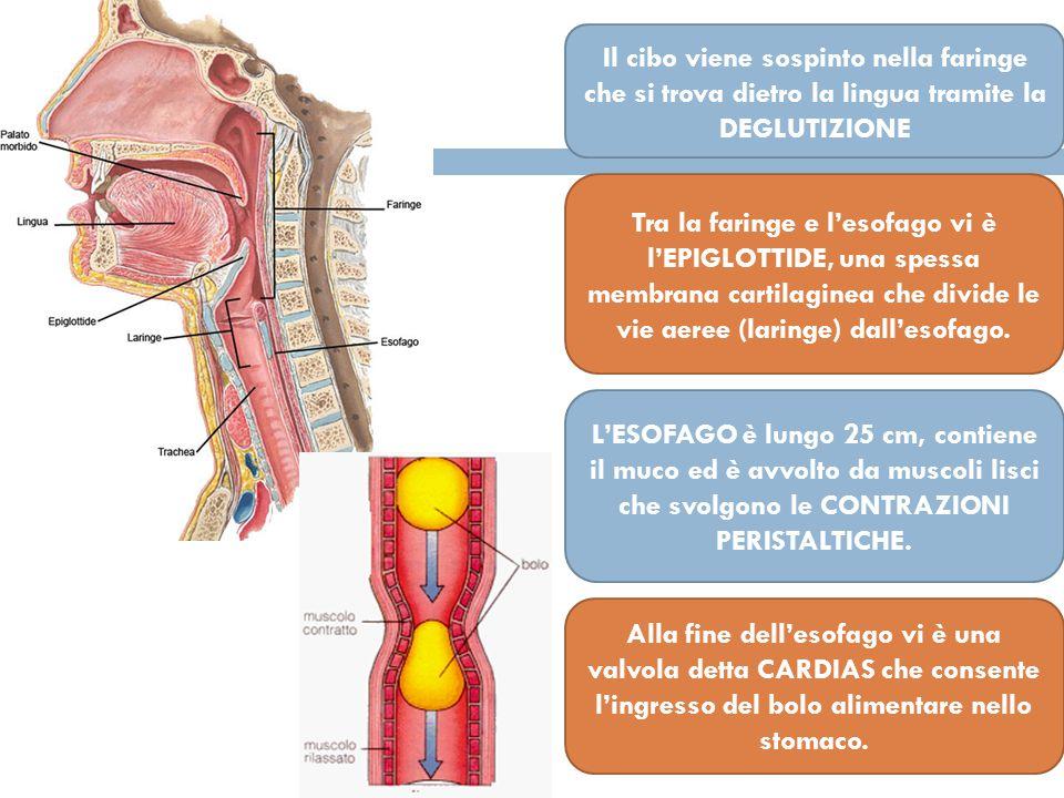Il cibo viene sospinto nella faringe che si trova dietro la lingua tramite la DEGLUTIZIONE Tra la faringe e l'esofago vi è l'EPIGLOTTIDE, una spessa membrana cartilaginea che divide le vie aeree (laringe) dall'esofago.