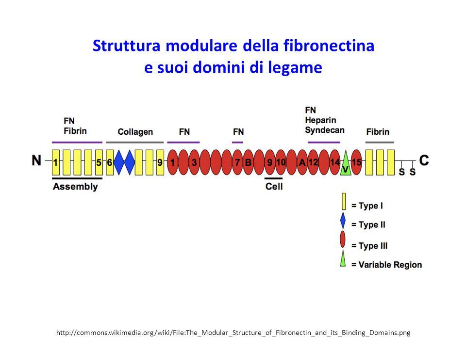 Struttura modulare della fibronectina e suoi domini di legame http://commons.wikimedia.org/wiki/File:The_Modular_Structure_of_Fibronectin_and_its_Binding_Domains.png