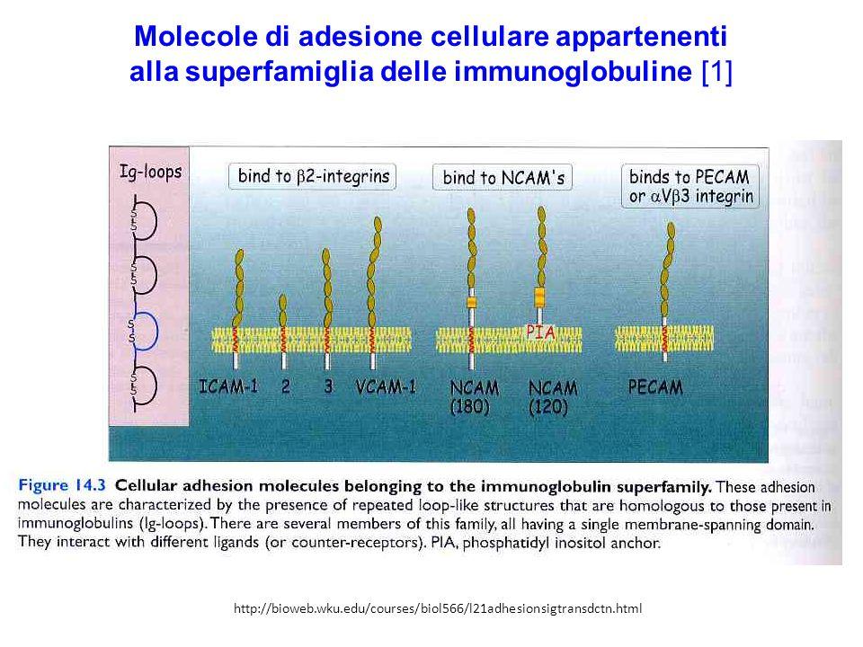 Molecole di adesione cellulare appartenenti alla superfamiglia delle immunoglobuline [1] http://bioweb.wku.edu/courses/biol566/l21adhesionsigtransdctn.html