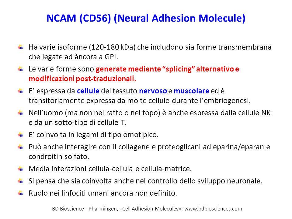 NCAM (CD56) (Neural Adhesion Molecule) Ha varie isoforme (120-180 kDa) che includono sia forme transmembrana che legate ad àncora a GPI. Le varie form