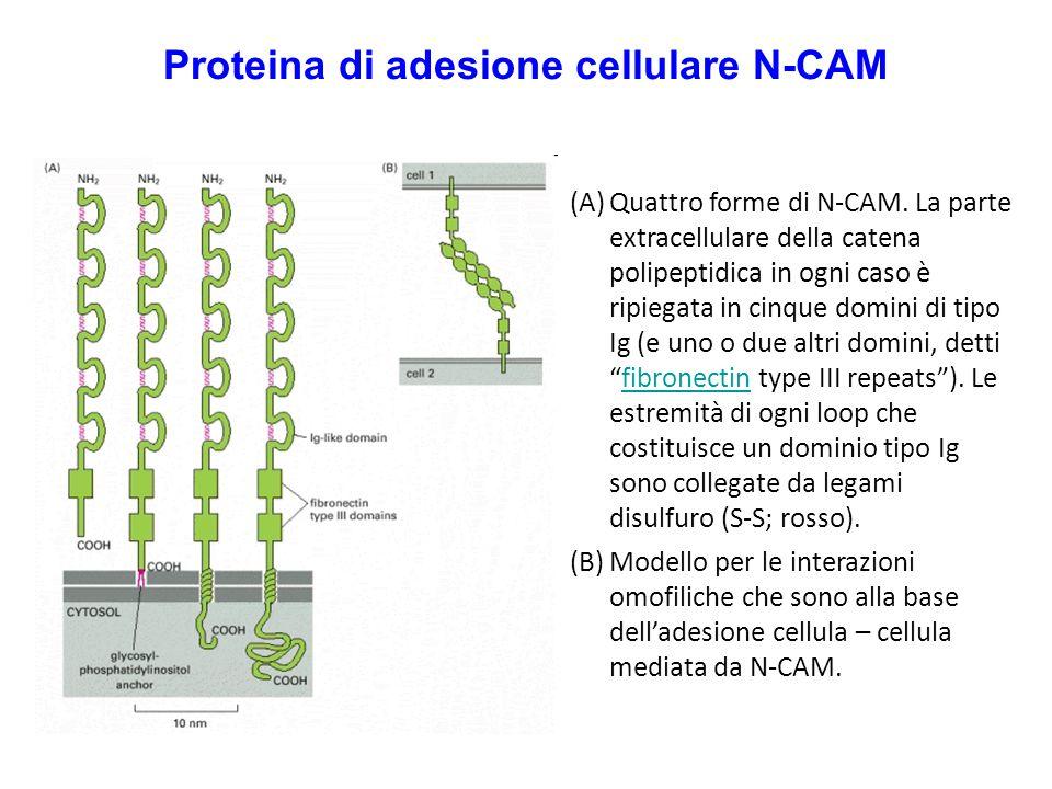 Proteina di adesione cellulare N-CAM (A)Quattro forme di N-CAM. La parte extracellulare della catena polipeptidica in ogni caso è ripiegata in cinque
