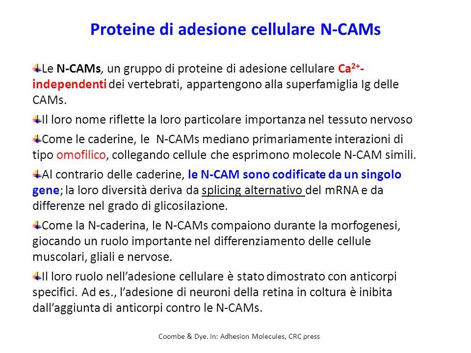 Proteine di adesione cellulare N-CAMs Le N-CAMs, un gruppo di proteine di adesione cellulare Ca 2+ - independenti dei vertebrati, appartengono alla superfamiglia Ig delle CAMs.