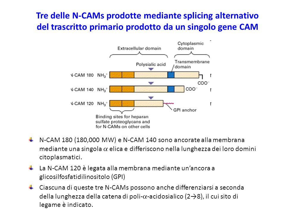 N-CAM 180 (180,000 MW) e N-CAM 140 sono ancorate alla membrana mediante una singola  elica e differiscono nella lunghezza dei loro domini citoplasmatici.