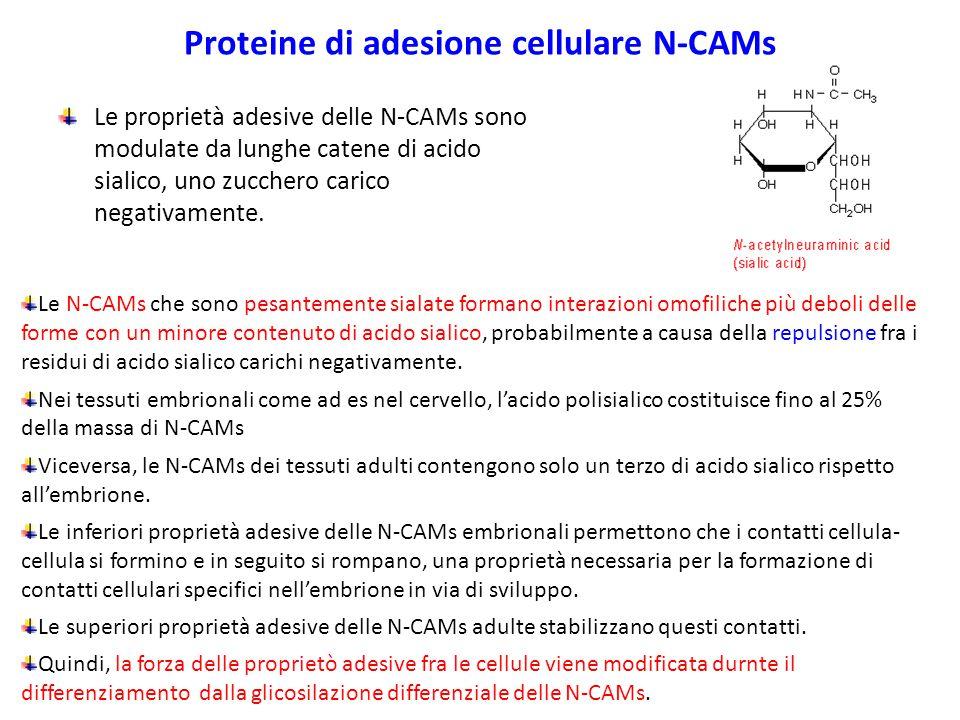 Proteine di adesione cellulare N-CAMs Le proprietà adesive delle N-CAMs sono modulate da lunghe catene di acido sialico, uno zucchero carico negativamente.