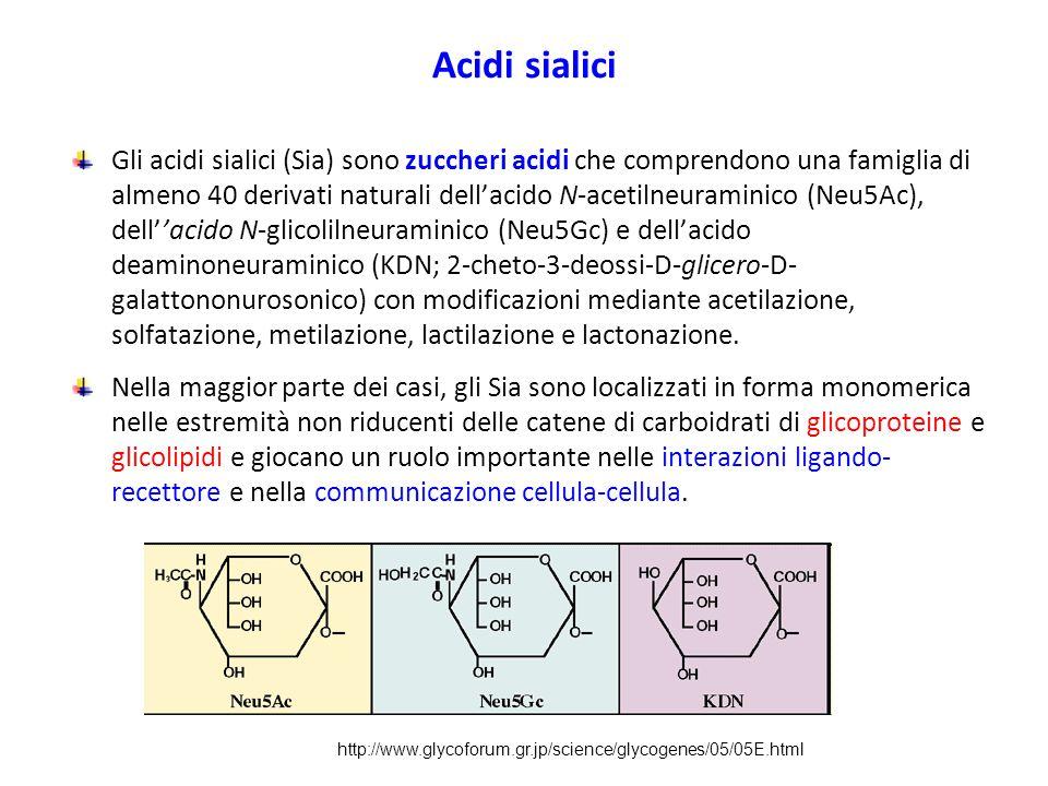 Acidi sialici Gli acidi sialici (Sia) sono zuccheri acidi che comprendono una famiglia di almeno 40 derivati naturali dell'acido N-acetilneuraminico (Neu5Ac), dell''acido N-glicolilneuraminico (Neu5Gc) e dell'acido deaminoneuraminico (KDN; 2-cheto-3-deossi-D-glicero-D- galattononurosonico) con modificazioni mediante acetilazione, solfatazione, metilazione, lactilazione e lactonazione.