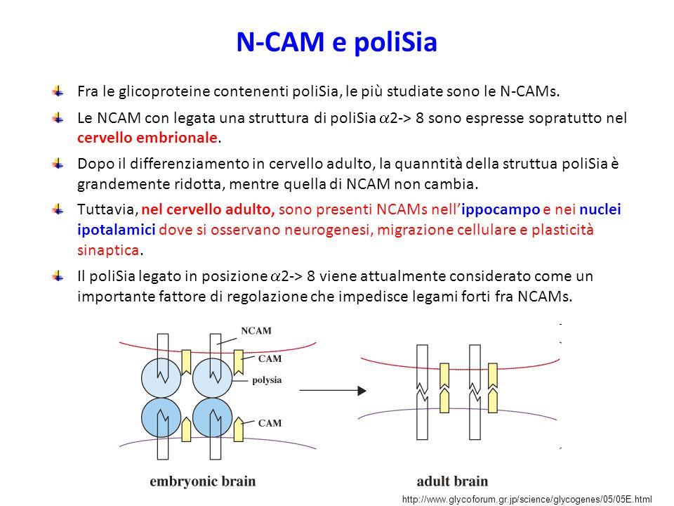 N-CAM e poliSia Fra le glicoproteine contenenti poliSia, le più studiate sono le N-CAMs.