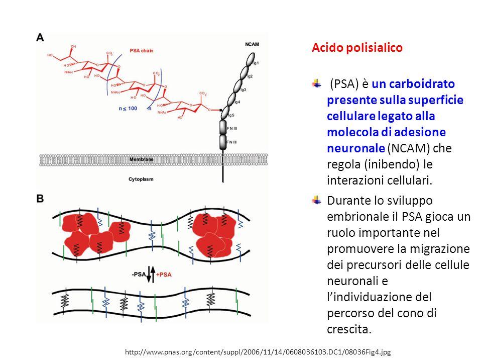 http://www.pnas.org/content/suppl/2006/11/14/0608036103.DC1/08036Fig4.jpg Acido polisialico (PSA) è un carboidrato presente sulla superficie cellulare legato alla molecola di adesione neuronale (NCAM) che regola (inibendo) le interazioni cellulari.