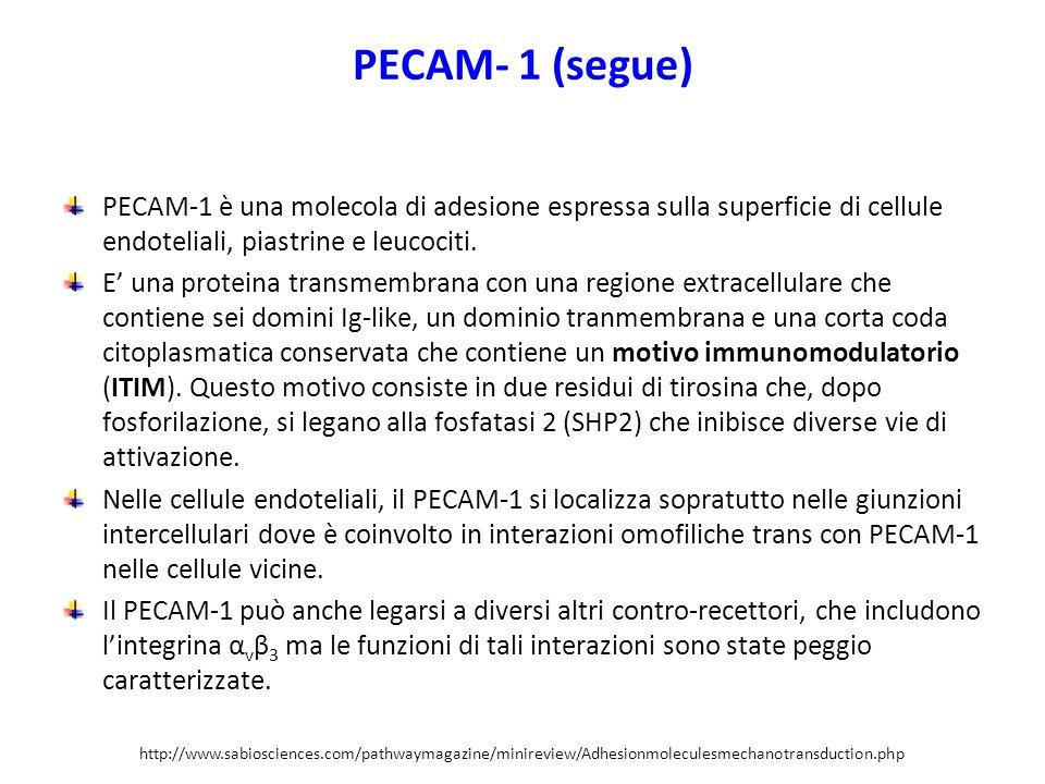 PECAM- 1 (segue) PECAM-1 è una molecola di adesione espressa sulla superficie di cellule endoteliali, piastrine e leucociti.